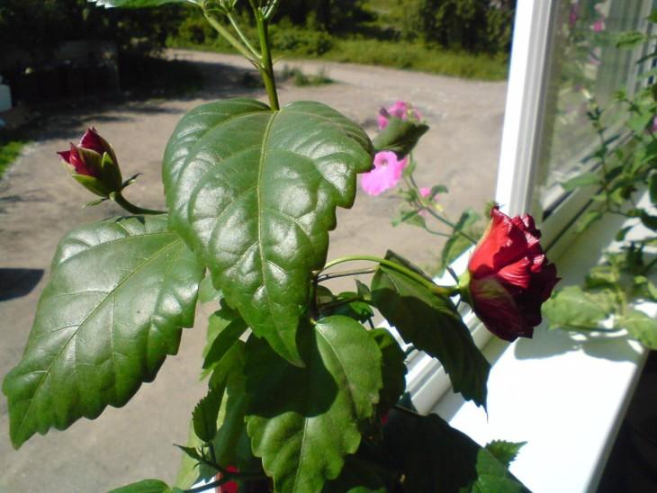 Розы из семян из китая выращивание